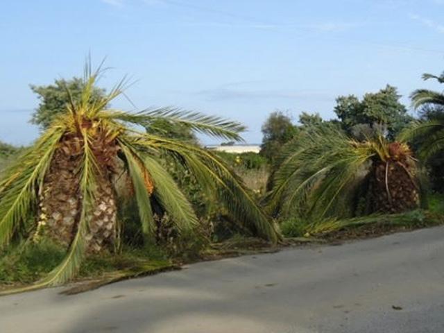 Knagende rode kevers vernietigen palmbomen aan Côte d'Azur